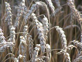 Эксперты ожидают рекордный мировой урожай зерна в сезоне 2011/12.