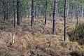 Troianivka Manevytskyi Volynska-Kruchene ozero nature reserve-forest near the lake.jpg