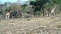 Troupeau de Girafe Dikala.jpg