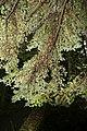 Tsuga caroliniana 3zz.jpg