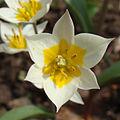 Tulipa turkestanica Y004.jpg