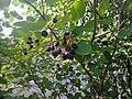 Tuomipihlajat ( Serviceberry, Ирга) - panoramio.jpg