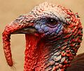 Turkey Portrait - Flickr - Andrea Westmoreland.jpg