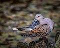Turtle Dove (15637075171).jpg