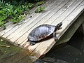 Turtle sunning itself.jpg