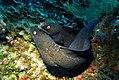 Two Black Moray Eels - Muraena augusti.jpg