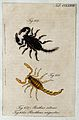 Two scorpions; Buthus setosus and Brotheas angustus. Coloure Wellcome V0022417EL.jpg