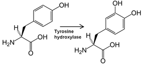Tyrosine hydroxylase also Anxiety Is So Boring besides Are Leaders More Stressed further 1913 further Body. on adrenaline