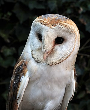 Lüneburg Heath Wildlife Park - Barn owl in the Lüneburg Heath Wildlife Park.