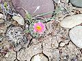 Uinta Basin Hookless Cactus (Sclerocatus wetlandicus) (16795787448).jpg
