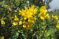 Ulex europaeus - common gorse - at Ooty 2014.jpg