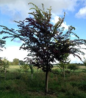 <i>Ulmus</i> Frontier Elm cultivar