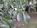 Ulmus glabra (smooth dark green very asymmetrical leaves). North Merchiston Cemetery, Edinburgh (2).jpg