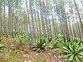 Un forêt des pins - panoramio.jpg