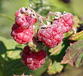 Unripe blackberries - red and green.jpg