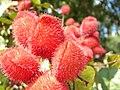 Urucum - fruto vermelho.jpg