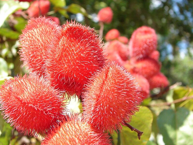 File:Urucum - fruto vermelho.jpg