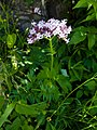 Valeriana officinalis (5973194936).jpg