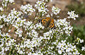 Vanessa cardui - Diken kelebeği 10.jpg