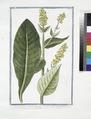 Verbascum foliis viridibus perenne, floribus luteis racematim provenientibus staminulis purpurascentibus. (Mullein) (NYPL b14444147-1125084).tiff