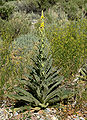 Verbascum thapsus 3.jpg