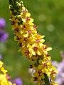 Verbascum thapsus Dziewanna drobnokwiatowa 2015 03.jpg