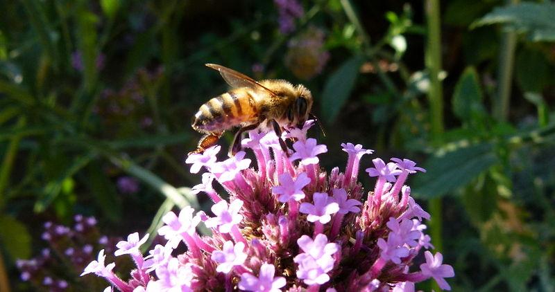 File:Verbena bonariensis with a bee.JPG
