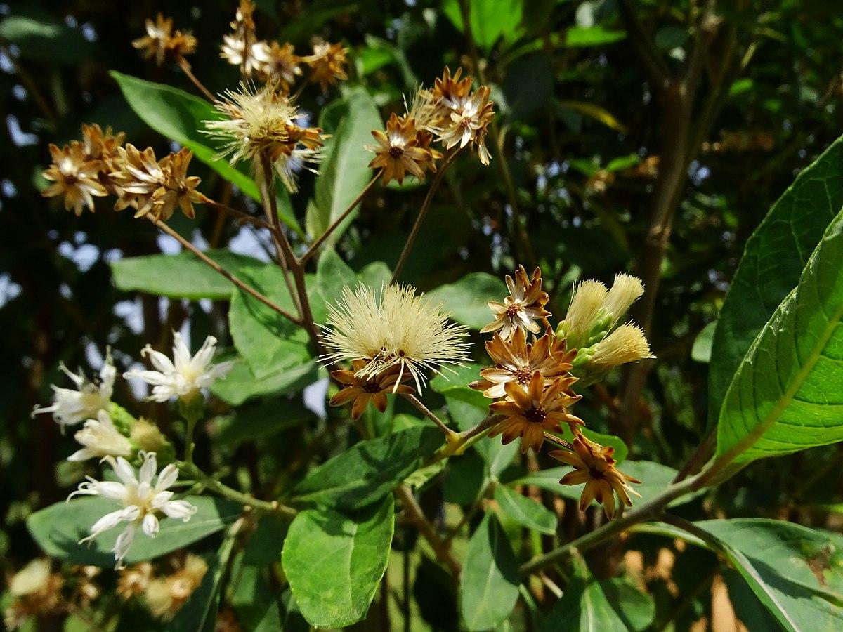 Vernonia Amygdalina Wikipedia