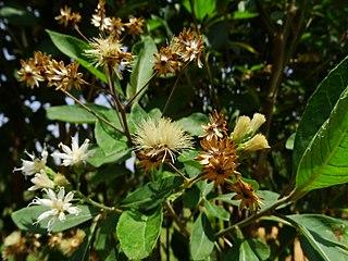 <i>Vernonia amygdalina</i> species of plant
