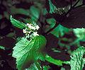 Viburnum edule flowers.jpg