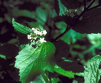 Viburnum edule - Image: Viburnum edule flowers