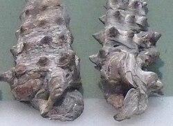 Vicarya japonica