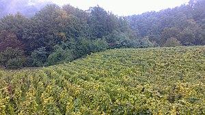 Croatian wine - Vineyard in Hrvatsko Zagorje.