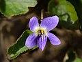 Viola odorata 20210226.jpg