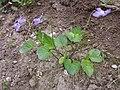 Viola riviniana sl1.jpg