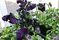 Viola tricolor Accord Black Beauty 1zz.jpg