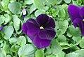 Viola tricolor Dynamite Purple 0zz.jpg
