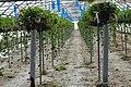 Violaines serres à fraises (2).jpg