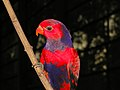 Violet-necked Lory Eos squamata (6969987780).jpg