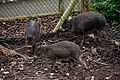 Visayan Warty Pig, Chester Zoo.jpg