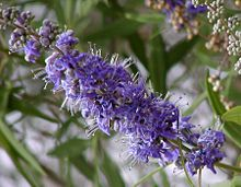 Vitex agnus-castus, flores, Hemingway, Carolina do Sul