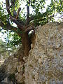 Vize city wall - fig tree growing into the ruins - P1020907.JPG
