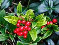 Vrouwelijke Skimmia japonica 002.jpg