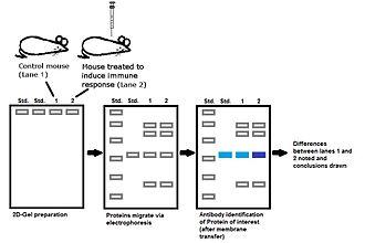 Immunoproteomics - Immunoproteomics example experiment involving western blot analysis