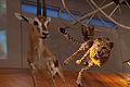 WLANL - kwispeltail - Gazelle met cheetah.jpg