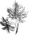 WWB-0277-135-Acer platanoides-crop.png