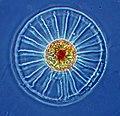Wagon wheel diatom.jpg