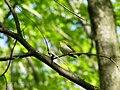 Waldlaubsänger (Phylloscopus sibilatrix).jpg