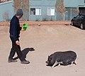 Walking the pig 2 (4479880130).jpg
