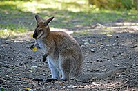 Wallabie de benneth (Zoo-Amiens).JPG